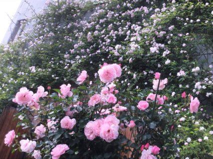 バラが満開です!